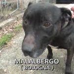 Come adottare Birillo, il pitbull salvato da Striscia la Notizia a Malalbergo