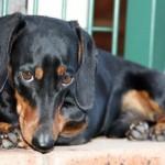 Cani di razza: il Bassotto e il kaninchen