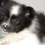 Cuccioli di Volpino di Pomerania in regalo: scoperta una truffa online sui cani di razza
