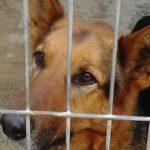 Pitbull regalo cuccioli roma