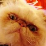 Il gatto persiano che ama farsi fotografare: Hermés