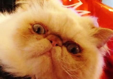 gatto-persiano-hermes