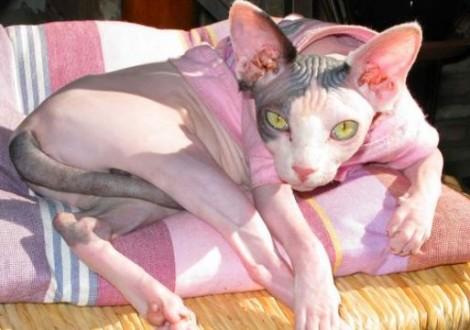 gatto-Sphinx