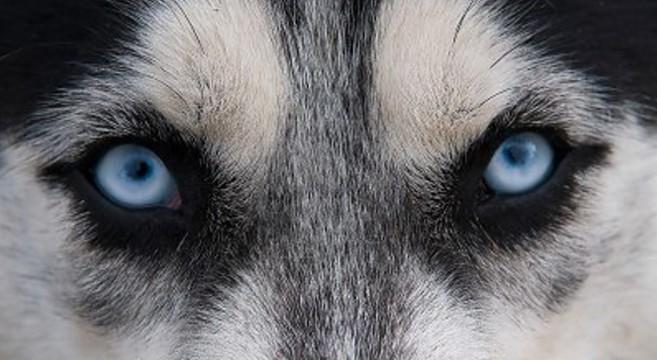 Husky occhi diversi idee di immagini di casamia - Husky con occhi diversi ...