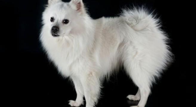 Cani di razza volpino italiano petpassion blog for Cane volpino