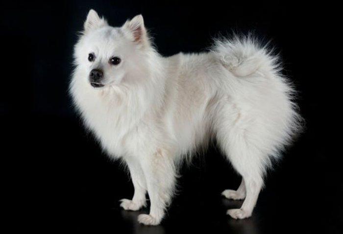 Cani di razza volpino italiano petpassion blog for Volpino italiano