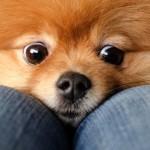 Cani di razza: Spitz tedesco