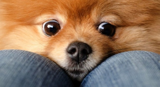 Cani di razza spitz tedesco petpassion for Cane volpino