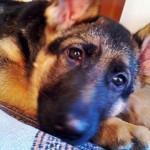 Foto del cucciolo di pastore tedesco Pola