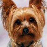 Cani di razza: Yorkshire Terrier e Yorkshire Toy