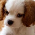 Cani di razza: Cavalier King Charles Spaniel