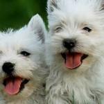 Cani di razza: West Highland White Terrier o Westie
