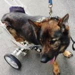 Cane antimine: dopo una vita da eroe ha bisogno di adozione