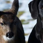 Il cerbiatto e l'alano: una storia di amicizia tra animali come nelle favole [video]