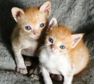 gattini-rossi-foto