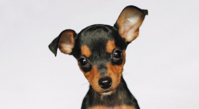 Cani di razza pinscher e zwergpinscher o pinscher nano for Pinscher medio