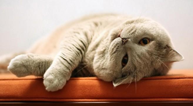 Sai che anche i gatti si rilassano con i massaggi ecco for Costruttori domestici del nordovest pacifico