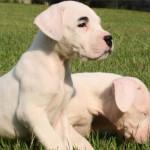 Cani di razza: Dogo Argentino