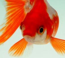 Shubunkin etereo e luminoso pesce rosso petpassion blog for Pesce rosso razza