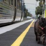 Gatto accompagna la sua proprietaria alla stazione [video]