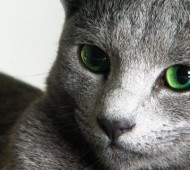 gatto-blu di russia-copertina