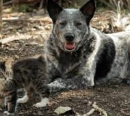 gatto-ipoplasia-cerebellare-felina