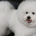 Cani di razza: il Bichon Frisé