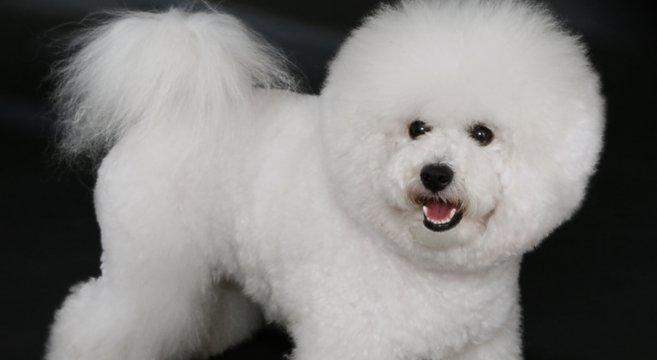Cani di razza il cane bichon fris petpassion blog - Barboncino piccolo ...