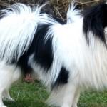 Cani di razza: il cane Japanese Chin