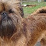 Cani di razza: il cane Griffoncino di Bruxelles