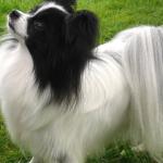 Cani di razza: il cane Papillon