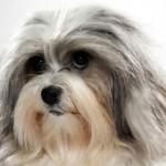 Cani di razza: il Piccolo Cane Leone (Lowchen)