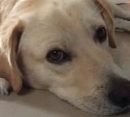 cucciolo-labrador-adozione