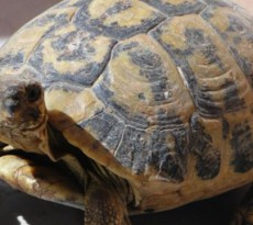 tartaruga-terrestre