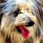 Incrocio cane Yorkshire Terrier in adozione a Roma