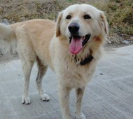 adozione-golden-retriever