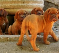 cuccioli-dogue-de-bordeaux