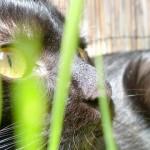 Perché al gatto piace l'erba gatta?