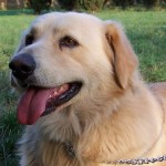 Simil Golden Retriever in adozione a Roma