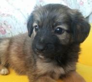 cucciolo-adozione-lombardia