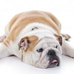 Cani e gatti sovrappeso: occhio alla bilancia dopo le feste
