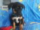 cucciolo-adozione-botolo