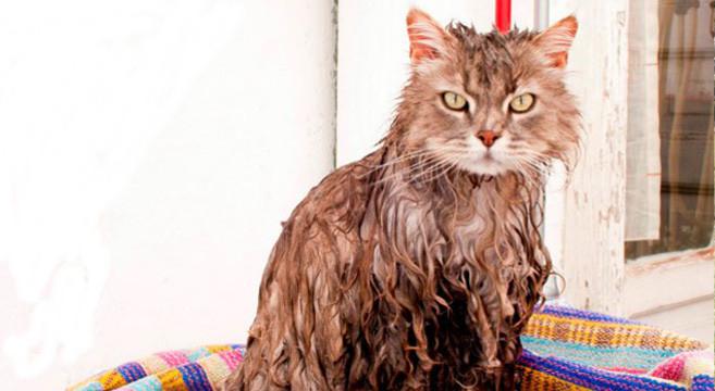 Come e perché lavare il gatto e come asciugarlo | Petpassion Blog