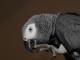 cenerino-pappagallo