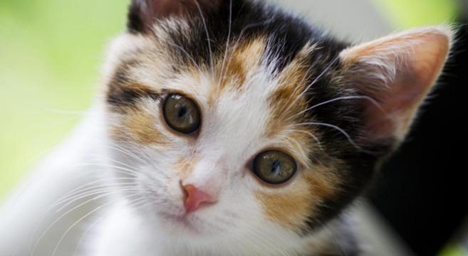 Curiosit sui gatti 7 cose da sapere i parte for Gatti con occhi diversi