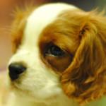 Denti del cane da cucciolo all'età adulta