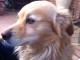 simil-volpino-adozione