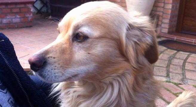 Cucciolo in adozione simil volpino adottabile in tutta for Cane volpino