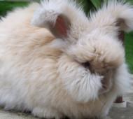 coniglio-angora