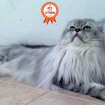 Foto e video del persiano Romeo, il gatto più fotografato della community!